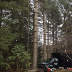 Removing Pine Trees In Simsbury CT 2013
