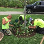 Planting Cleome in Avon CT. 2015